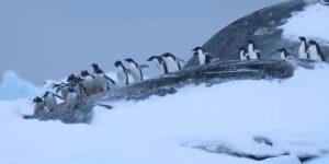 Біля станції «Академік Вернадський» спостерігають рекордні для антарктичної зими скупчення пінгвінів. Фото