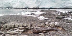 Учені визначили вік скелета кита, знайденого в Антарктиді